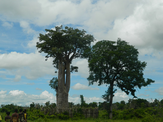 The legendary baobab named Andampanampela in the Mahabo district. Baobab légendaire nommé Andampanampela dans le district de Mahabo