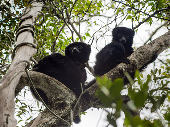 Adult and juvenile Perrier's sifakas (Propithecus perrieri) at Andrafiamena forest, Madagascar in 2016. Madagascar Conservation & Development Photo Alessio Anania