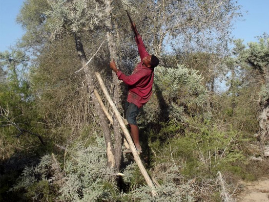 Cattle herder cutting samata tree Euphorbia stenoclada near Tsimanampetsotsa park