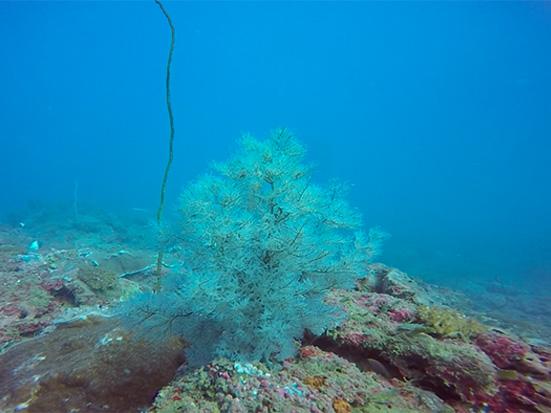 Myriopathidae black coral, SW Madagascar (Lucas Terrana)