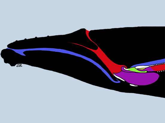 Schematic diagram of a Humpback whale head. Joy S Reidenberg. Madagascar Conservation & Development. Megaptera novaeangliae