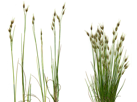 Narrow endemic grass Tristachya betsileensis, Itremo, Madagascar; Kew Madagascar Conservation Centre; Maria Vorontsova; Royal Botanic Gardens, Kew; Madagascar Conservation & Development