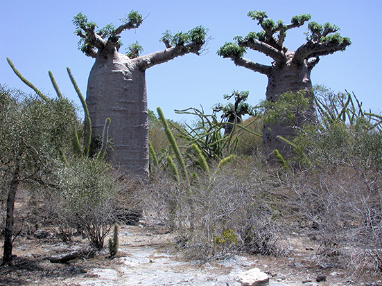 """Just south of Morombe on coastal white sand with locally dominant """"dwarf"""" Adansonia grandidieri that nevertheless tower above spiny succulent Didierea madagascariensis and succulent Euphorbia trees. Pete Phillipson. Madagascar Conservation & Development"""