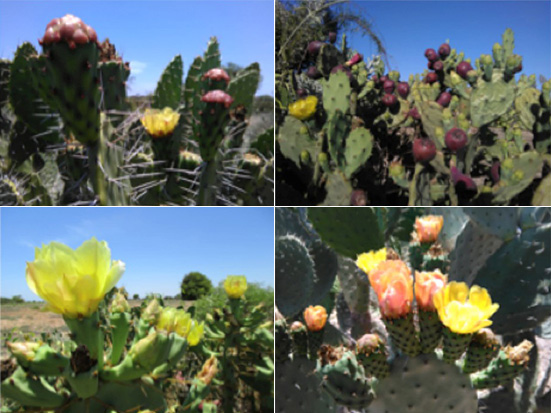 """From left to right, top to bottom: Opuntia monacantha, Opuntia ficus-indica, Opuntia stricta, Opuntia sp. """"Vilovilo""""; cactus pear; Madagascar; seed oil; livelihood; Madagascar Conservation & Development"""