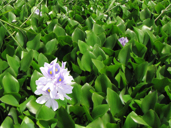 Mats of Water hyacinth Eichhornia crassipes covering the Alaotra wetland (photo: Pina Lammers); Madagascar Conservation & Development