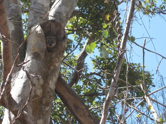 Spineless monkey orange tree (Strychnos madagascariensis) tree hole hosting a Daraina sportive lemur (Lepilemur milanoii)