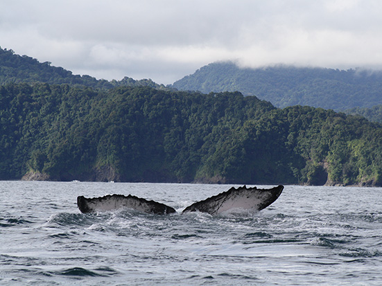 Humpback whale, Megaptera novaeangliae, in the Gulf of Tribugá, Colombian Pacific. Photo by Natalia Botero-Acosta, Macuáticos Colombia Foundation®