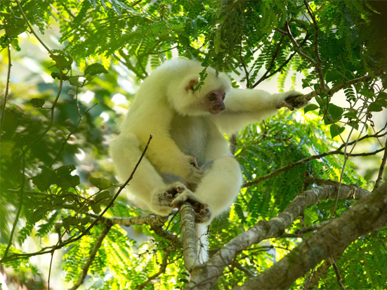 Synthesis of the silky sifaka's distribution (Propithecus candidus ...