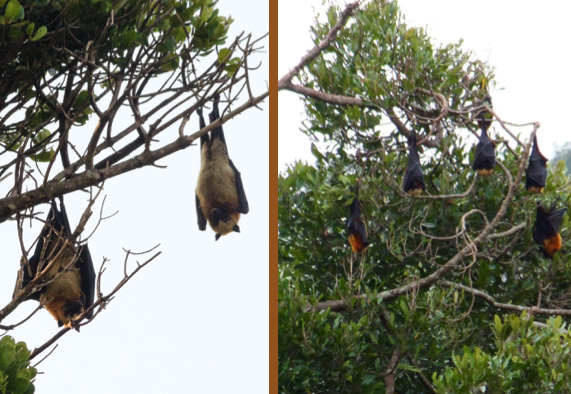 Roosting Madagascan flying foxes (Pteropus rufus) at the Amborabao colony (September 2015). Madagascar Conservation & Development. Photographic credits: M. Darling and S. Long