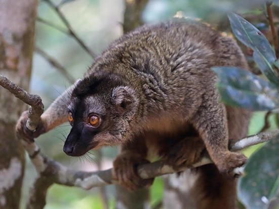 Eulemur fulvus (Brown lemur) in Ankarafantsika. Photo Credit: Kathy West Studios, 2017