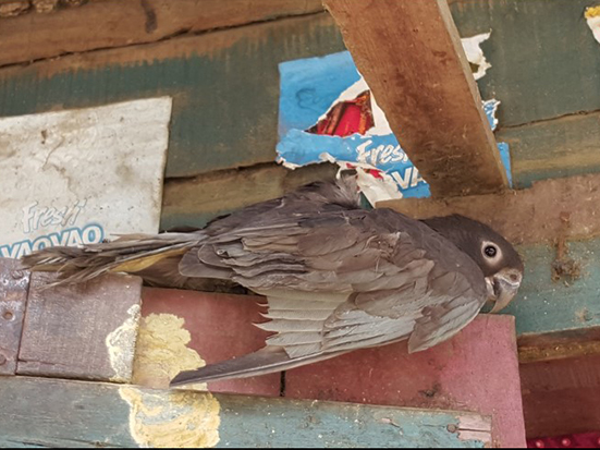 Coracopsis, Motivations of pet parrot ownership and captive conditions of the pets in Madagascar